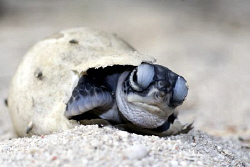 Baby turtle on the beach trying to crawl out of its egg. by Erika Antoniazzo