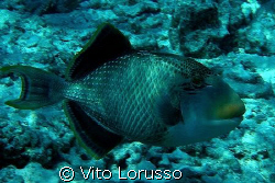 Fishs - Balistoides Viridescens by Vito Lorusso