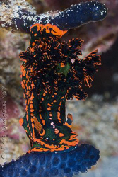 Hanging out for a meal.  After eating a colony of its fav... by Ross Gudgeon