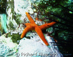 Blood Star (Henricia leviuscula) shot at the Los Coronado... by Richard Alvarado