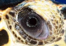 Eye of turtle, Grand Cayman.  D300. by David Heidemann