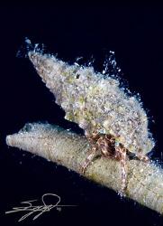 Hermit Crab at the edge of a dead spirograph. by Nicholas Samaras