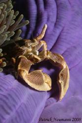 Purple .... Porcellan crab on a purple anemone at three s... by Patrick Neumann