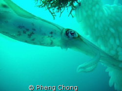 Saw these squids busy laying eggs while doing my safety s... by Pheng Chong