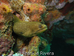 Goldentail Eel @ Crash Boat, Aguadill, PR by Frankie Rivera