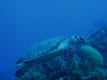 sea turtle in cozumel taken with olympus c50 w/PT014 casing by Anna Visconti