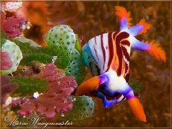 """Nudibranch and Tunicates"" (Canon G9, D2000w, UCL165) by Marco Waagmeester"