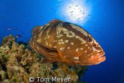 Grouper at Little Cayman.  Nikon D200, 10.5 lens by Tom Meyer