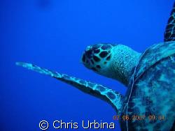 Sea turtle just ahead of me on my 1st underwater photo sh... by Chris Urbina