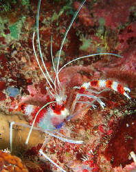 Banded Coral Shrimp by Durand Gerald