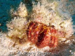 Hermit Crab Beauty by Juerg Ziegler