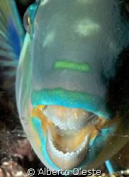 Parrotfish sleeping -  night dive in Maldives by Alberto D'este