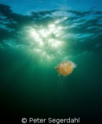 An old jellyfish enjoying a little sun at the end of a lo... by Peter Segerdahl