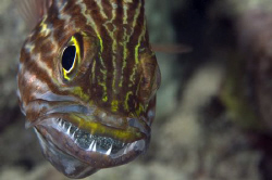 Cardinalfish with eggs in the mouth. Nikon D300, 105mm by Dray Van Beeck