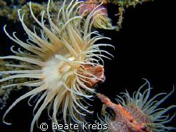 Gorgonian wrapper, leopard anemone, Canon S70 , Macro Lens by Beate Krebs