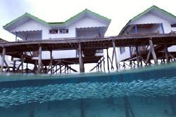 Schooling fish under my hut on Darawan island, Borneo, In... by Erika Antoniazzo