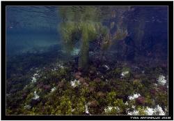Upside-down jellyfish in Kakaban lake D200/12-24 by Yves Antoniazzo