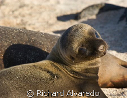 Galapagos Sea Lion pup approximatly two to three days old. by Richard Alvarado