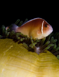 Just another Clownfish.. D100 60mm by Eric Orchin