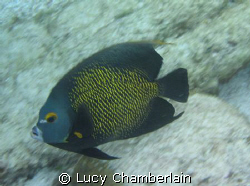 A French Angel Fish, Swimming At Speed! by Lucy Chamberlain
