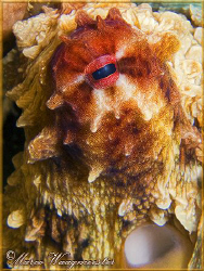 Portrait of an Octopus (Canon G9, D2000w, UCL165) by Marco Waagmeester