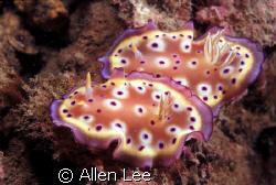 nudibranch(Chromodoris tritos).Nikon F100,60mm,f19,1/90,Y... by Allen Lee