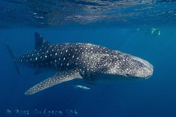 One of the many whalesharks that visit Ningaloo Reef annu... by Ross Gudgeon