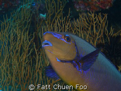A very curious Unicornfish looking into my lens by Fatt Chuen Foo