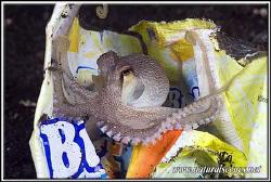 Octopus playing in plastic bag Lembeh 350D/70mm by Yves Antoniazzo
