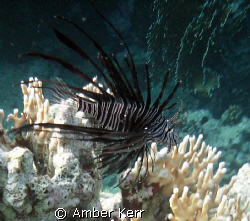 lion fish in the red sea  vivitar vivicam yellow by Amber Kerr