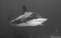 This Caribbean Reef Shark is on patrol as he swims from t... by Steven Anderson