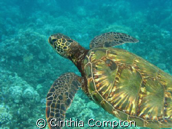Swimming with Turtle off Maui by Cinthia Compton