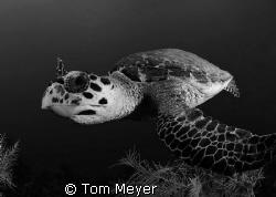 Cayman turtle, Nikon D200 10.5 lens by Tom Meyer