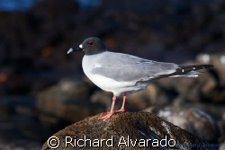 Swallow-tailed Gull It is unique among the gulls as it i... by Richard Alvarado