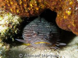 Splendid Toadfish, Cozumel. by Abimael Márquez