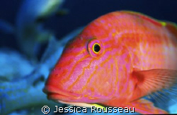 A goat fish taken with 60mm Nikon with F90x in a subal, s... by Jessica Rousseau