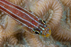 Striped Threefin, Helcogramma striata.  Ningaloo Reef, We... by Ross Gudgeon