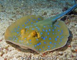 Bluespotted stingray (Taeniura lymna) by Bea & Stef Primatesta