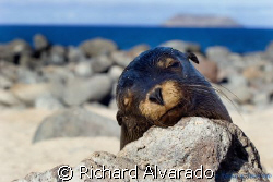 Galapagos Sealion taken in the Galapagos Islands by Richard Alvarado