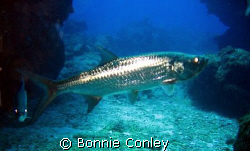 Grand Cayman is the place to go for tarpon.  Photo taken ... by Bonnie Conley