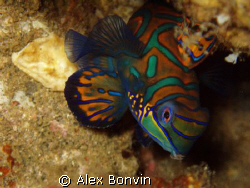 Mandarin fish, Banda Neira by Alex Bonvin