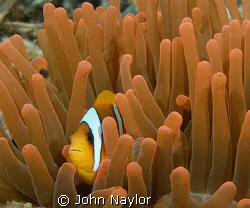 clown fish in red anemone. by John Naylor