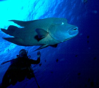 Diver and Napoleon Wrasse taken in Palau.  NikV w/15mm le... by Beverly Speed