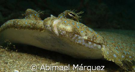 Peacock Flounder, Sugar Pier, Aguadilla, P.R. by Abimael Márquez