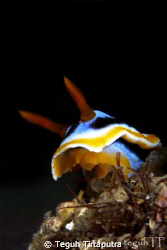 Chromodoris annae, nudibranch. Catured using Canon EOS 40... by Teguh Tirtaputra