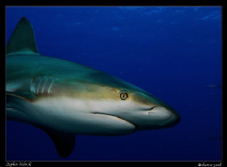 Just got home from a week in the Bahamas; did a shark div... by Stephen Holinski