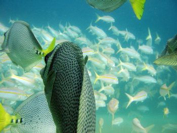 Following a school of Yellowtail Surgeonfish towards a sc... by Sean Dawson