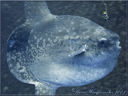 Another Ocean Sunfish (Mola mola) - (Canon G9) by Marco Waagmeester