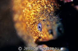 Speckled  Moray.  Poorknights, New Zealand.  Nik F90x in ... by Jessica Rousseau
