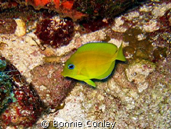 Juvenie Blue Tang seen July 2008 at Grand Cayman.  Photo ... by Bonnie Conley
